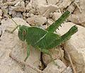 Nymph of Egyptian grasshopper. Anacridium aegyptium - Flickr - gailhampshire (1).jpg