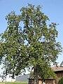 Oberoesterreicher Weinbirne 200910 005.jpg