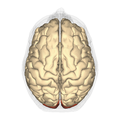 Occipital lobe - superior view.png