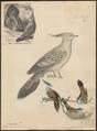 Ocyphaps lophotes - 1700-1880 - Print - Iconographia Zoologica - Special Collections University of Amsterdam - UBA01 IZ15600257.tif