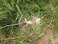 Odkvetlá rostlina (04).jpg