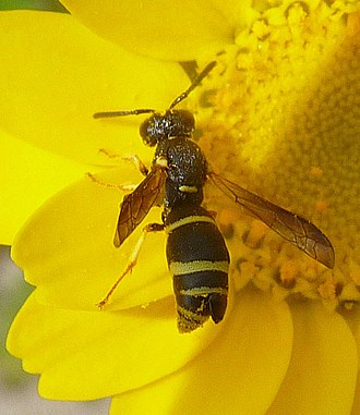 Strepsiptera - A wasp with the head of a strepsipteran, Odynerus spinipes, protruding from its abdomen