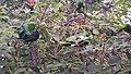 Oecophylla smaragdina nest 05.jpg