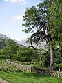 Old Larch Longsleddale - geograph.org.uk - 193623.jpg
