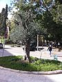 Olive Tree in Beirut.JPG
