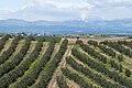 Olives orchards, Ceyhan - Adana 07.jpg