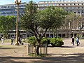 Olivo (Plaza de Mayo).jpg