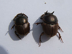 Gazella scarab (Onthophagus gazella) males; note variation in horn size