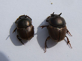 Onthophagus gazella male 2 sjh.jpg