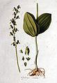 Ophrys ovata — Flora Batava — Volume v1.jpg