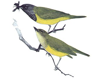 Robert Bruce Horsfall - MacGillivray's warbler from Warblers of North America (1907)