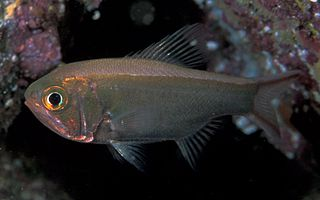 Trachichthyiformes Order of fishes