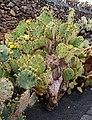 Opuntia hyptiacantha 01.jpg