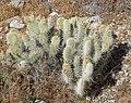 Opuntia polyacantha var erinacea 3.jpg