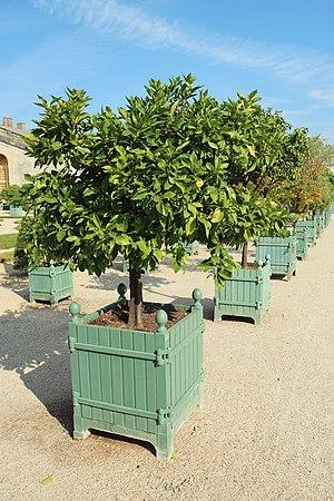 Citrus × sinensis - Image: Orangerie du château de Versailles le 11 septembre 2015 84