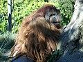 OrangutansitSDZoo07.jpg