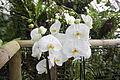 Orchideje v Troji, Phalaenopsis, 14.jpg
