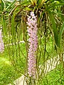 Orchids in Thailand 2013 2713.jpg