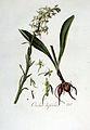 Orchis bifolia — Flora Batava — Volume v3.jpg