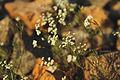 Ordubad daglar cicekler svln4821 dag bitkileri 04.jpg
