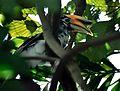 Oriental Pied Hornbill (Anthracoceros albirostris) (7795110746).jpg