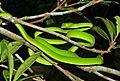 Oriental Vine Snake (Ahaetulla prasina) (8754420796).jpg