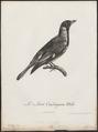 Oriolus larvatus - 1796-1808 - Print - Iconographia Zoologica - Special Collections University of Amsterdam - UBA01 IZ16400189.tif