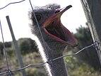 Ostrich head 04.jpg