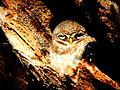 Owl Ranthambore 1.jpg