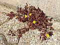 Oxalis corniculata sl2.jpg