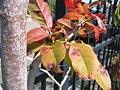 Oxydendrum arboreum 5zz.jpg