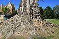 Pücklersche Blutbuche Muskau-Park Bad Muskau...2H1A1315WI.jpg