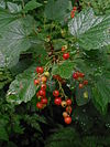 P6210058 Noordse aalbes (Ribes spicatum)