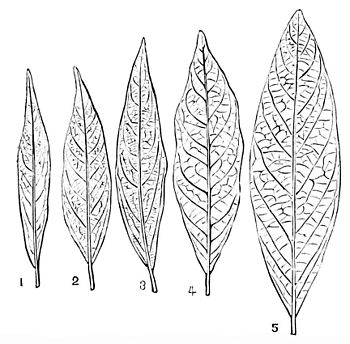PSM V16 D484 Successive forms of the laurel type.jpg