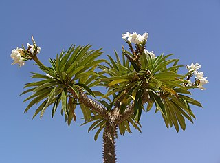 <i>Pachypodium lamerei</i> species of plant