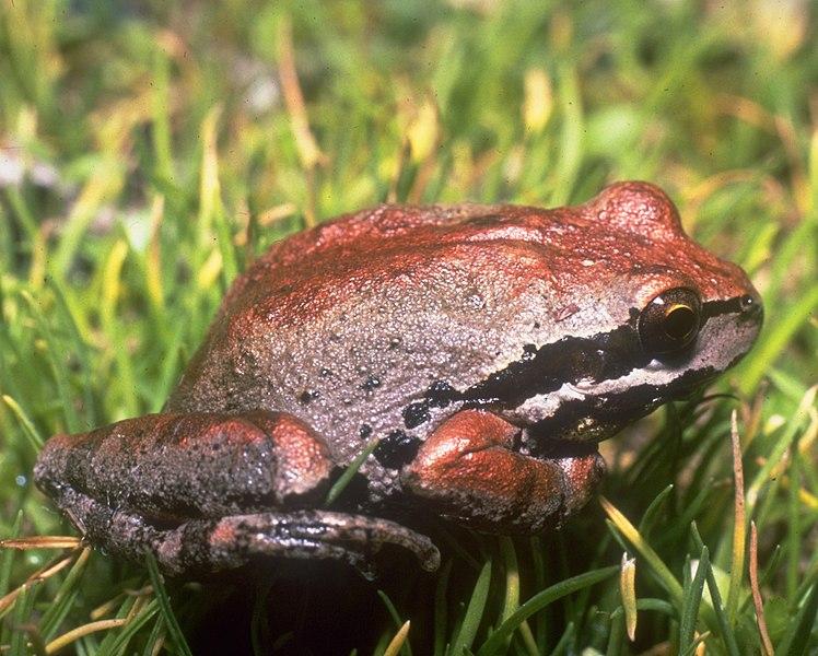 File:Pacific tree frog, Santa Rosa Island.jpg