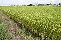 Paddy field in Inashiki, Ibaraki 05.jpg