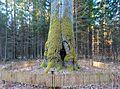 Paežerių ąžuolas, drevė.JPG