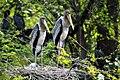 Painted stork (Mycteria leucocephala).jpg