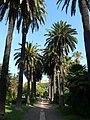 Palmeres - arbre d'interès local - Jardins de Vil·la Amèlia P1280093.jpg