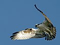 Pandion haliaetus -John Heinz National Wildlife Refuge at Tinicum, Pennsylvania, USA -flying-8.jpg