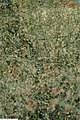 Panicum virgatum Prairie Sky 3zz.jpg