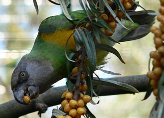 Poicephalus - Image: Papagei Mohrkopfpapagei 0509182