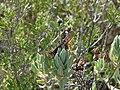 Papallona de l'arboç (Charaxes jasius) al Puig Francàs P1250461.jpg