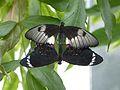 Papilio aegeus copulation.JPG