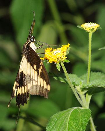 Papilio cresphontes (3).jpg