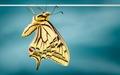 Papilio machaon imago 2009-04-10.tif