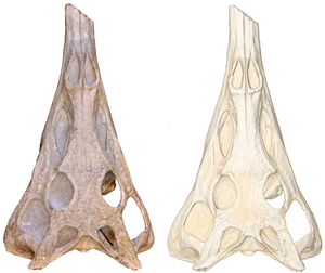 Paleorhinus - Skull of the P. angustifrons holotype with CT scan