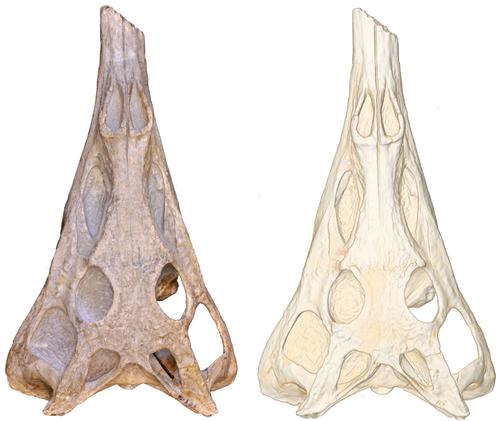 Paleorhinus
