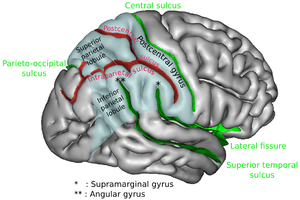 Intraparietal sulcus - Right cerebral hemisphere, viewed from the side. The region colored in blue is parietal lobe of the human brain. Intraparietal sulcus runs horizontally at the middle of the parietal lobe.